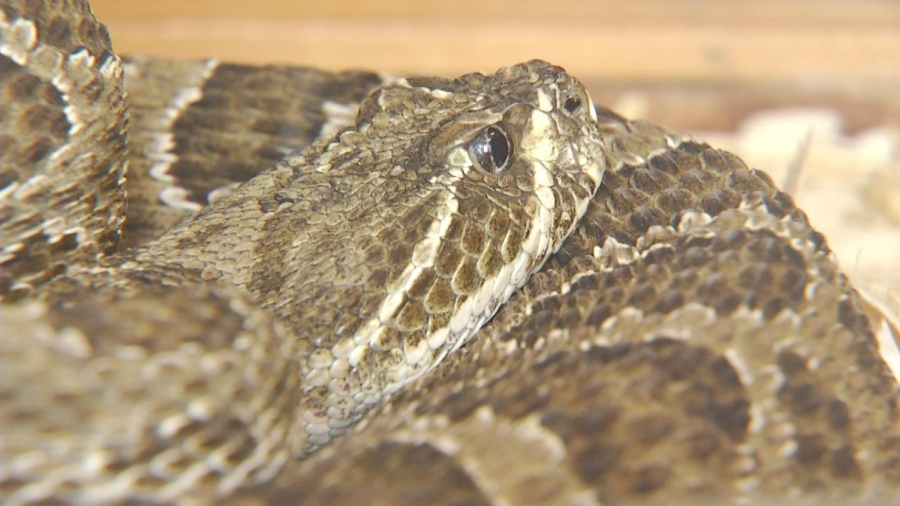 Rattlesnake Sightings On The Rise In NE Oklahoma
