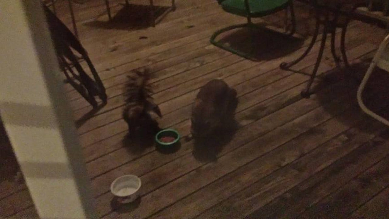Three-legged Skunk, Raccoon Adopt Oologah Family