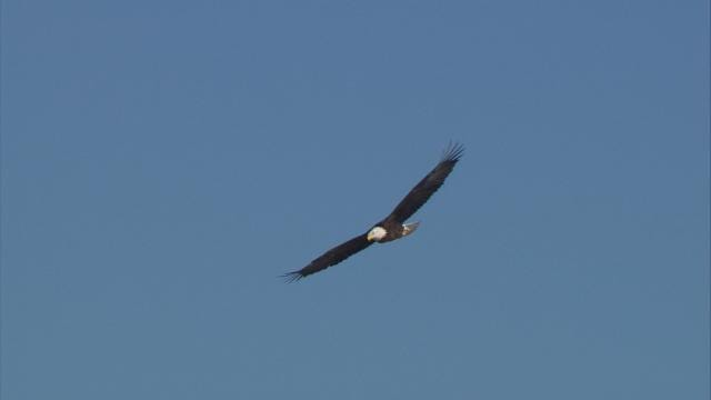 WATCH: Video Of Bald Eagle Soaring Over East Tulsa