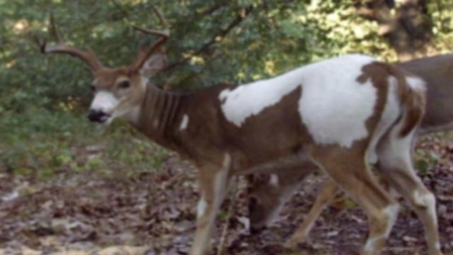 Oklahoma Man Pleads No Contest To Killing Rare Deer