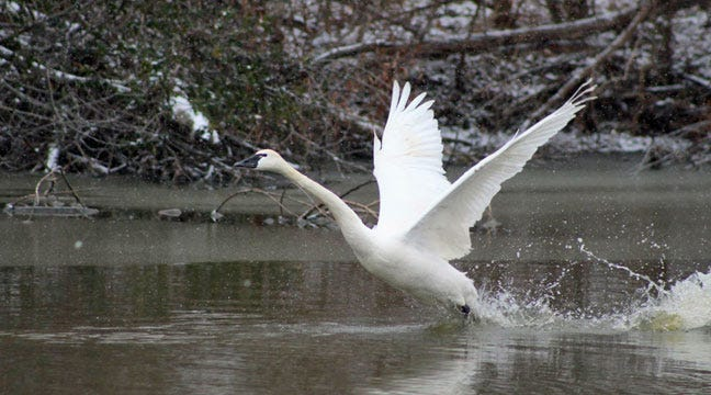 Wounded Swan Released After Tulsa Zoo Rehab