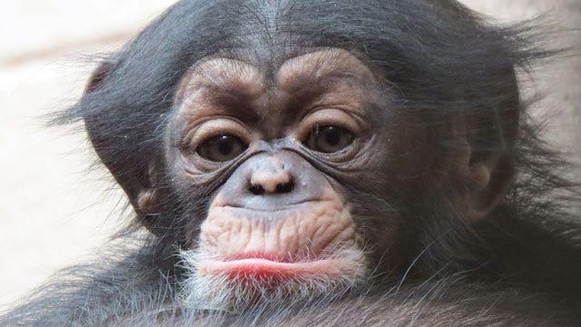 Tulsa Zoo Announces Name Of Baby Chimpanzee