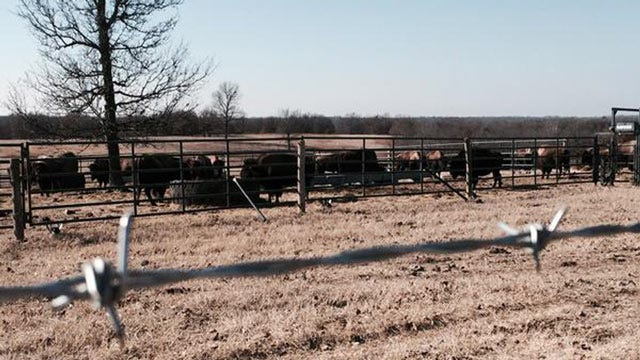 Cherokee Nation's Oklahoma Bison Herd Expecting Calves By March