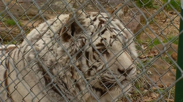 White Tiger In Wagoner County Enjoys The Cold Weather