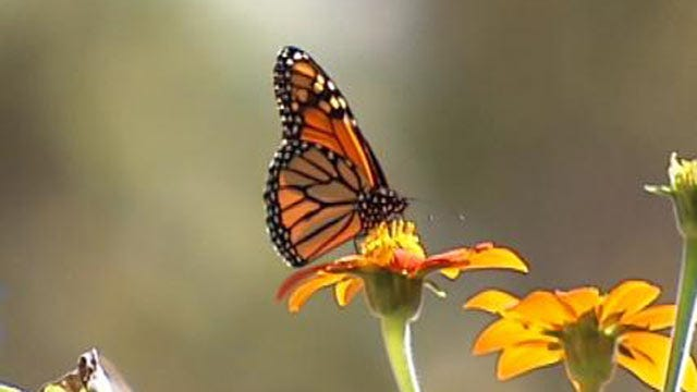 Funding Sought To Save Monarch Butterflies Flying Across Tulsa