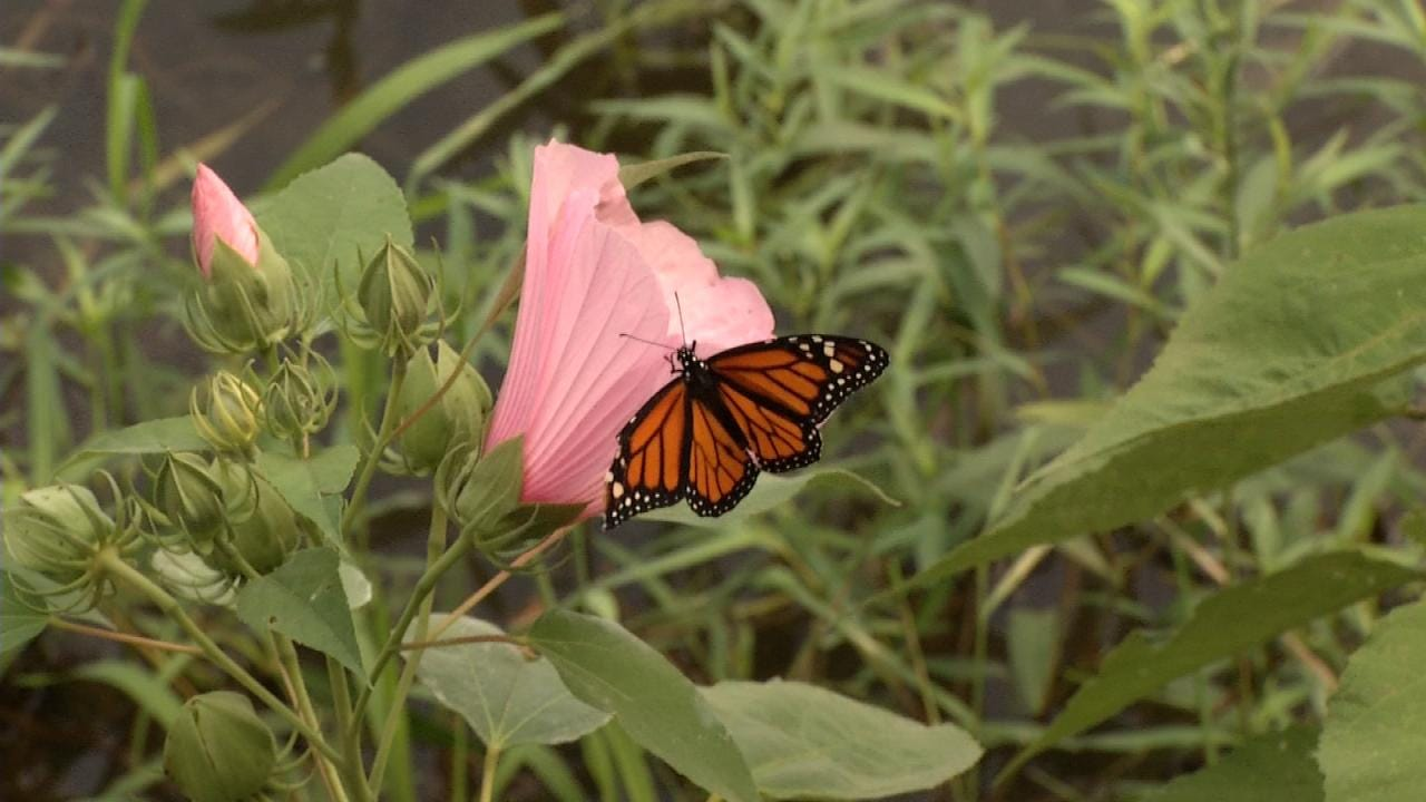 Crowds, Monarch Butterflies Swarm Tulsa Nature Reserve