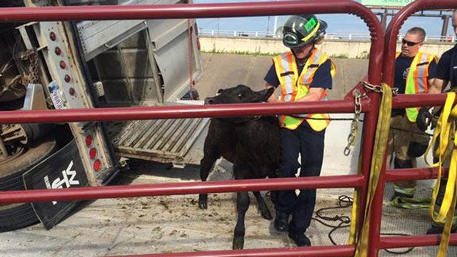 Trailer Loaded With Cattle Crashes On Downtown Tulsa Highway Ramp