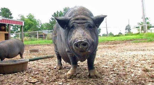 Sand Springs Woman Creates 'Hamalot' Haven For Potbellied Pigs