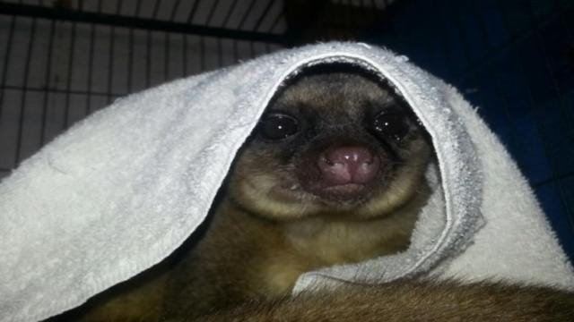 Missing Kinkajou Returns To Rogers County Rescue Ranch