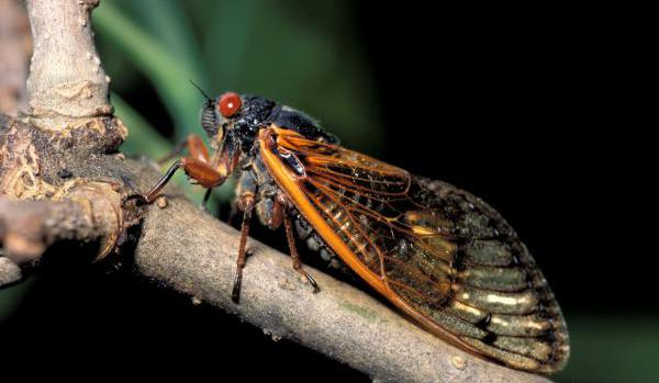 Red-Eyed Cicadas Appear In Oklahoma For First Time In Almost 20 Years
