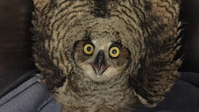 OSU To Release Great Horned Owl Nestling Found At Stillwater Campus