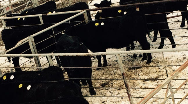 Cattle From Muskogee County Animal Cruelty Case Up For Auction In Tulsa