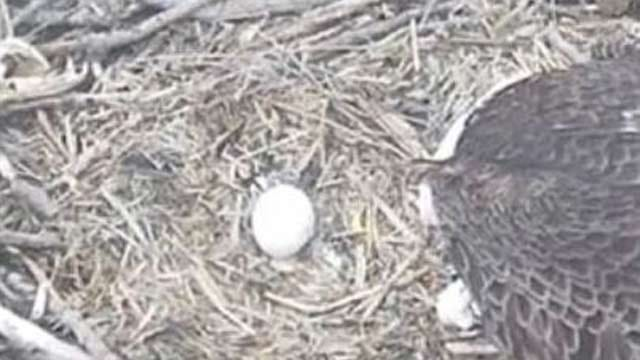 Oklahoma Bald Eagle Nest Cameras Show Harsh Side Of Nature