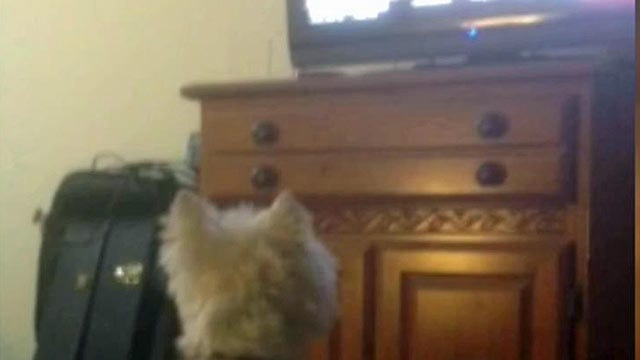 Oklahoma Pooch Watches News On 6 With Dogged Determination