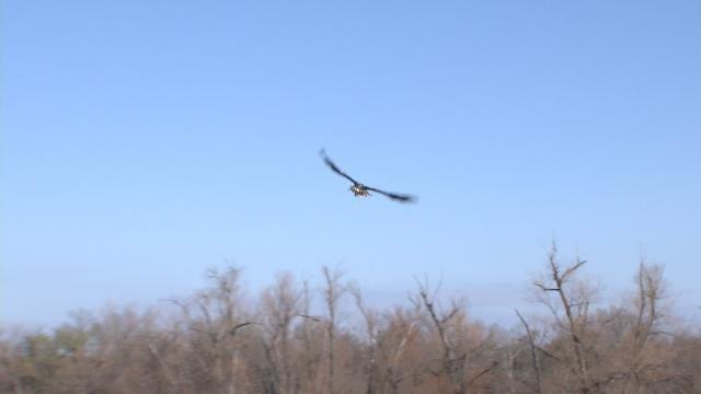 Tulsa Zoo Staff Releases Rehabilitated Bald Eagle