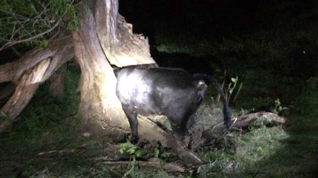 Verdigris Firefighters Share Cow Rescue Photo On Facebook
