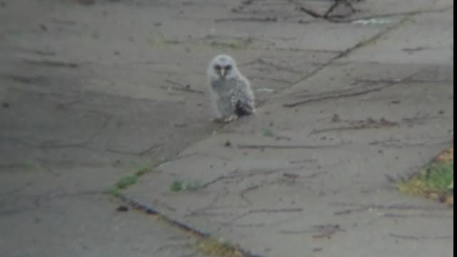 Tulsa Neighbors Rescue Fallen Baby Owl From Driveway