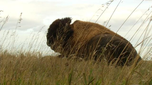 Cherokee Nation Adds To Bison Herd On Tribal Land