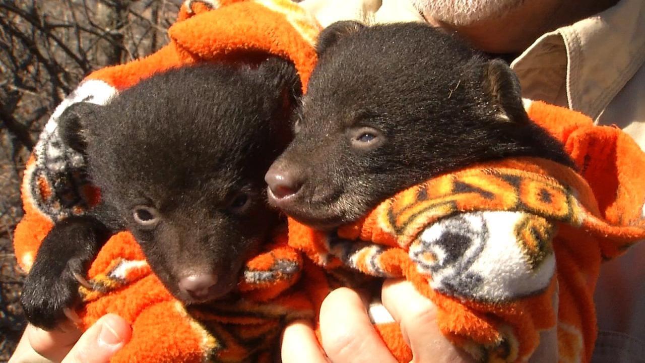 Growing Bear Population Could Expand Hunting Season Into NE Oklahoma