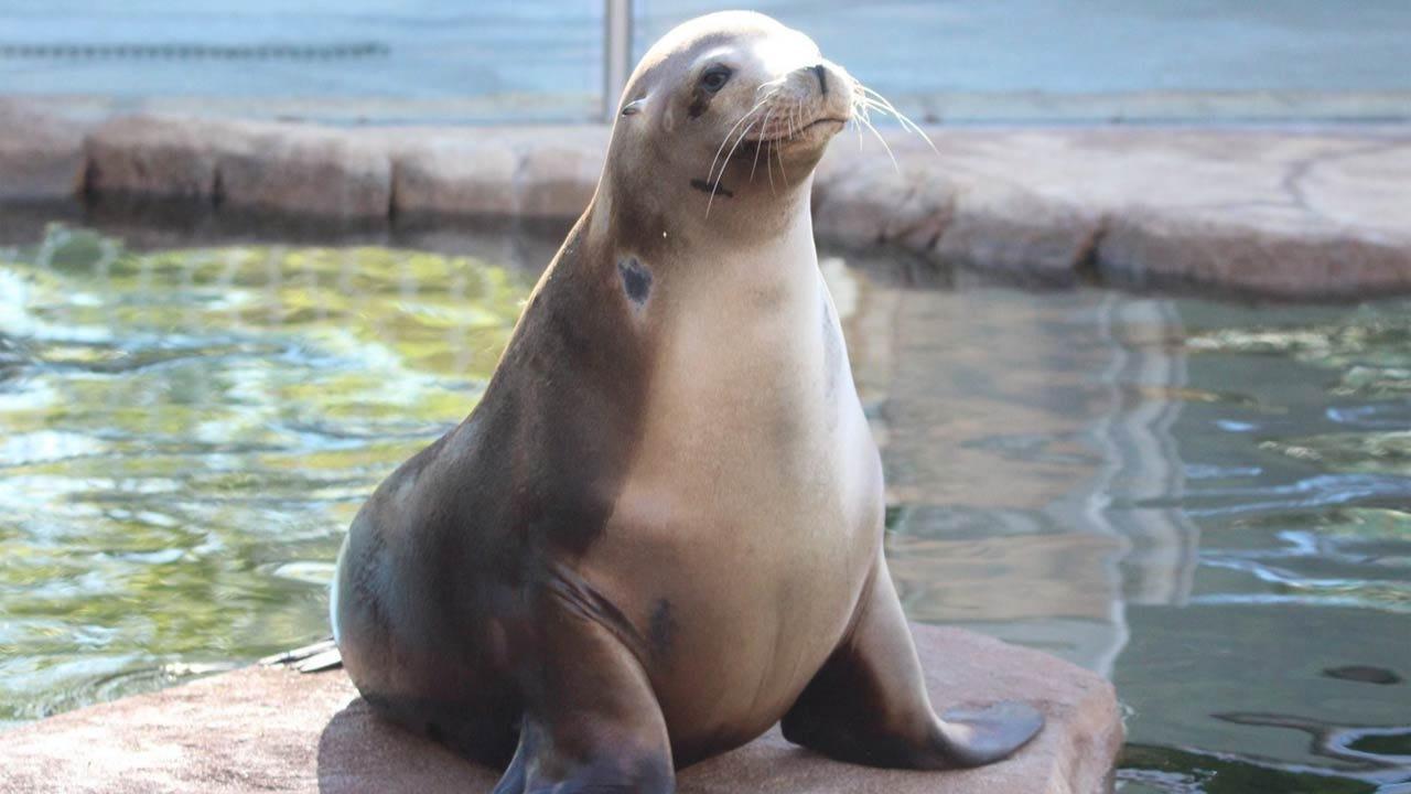 Tulsa Zoo's Dorsey The Sea Lion Dies