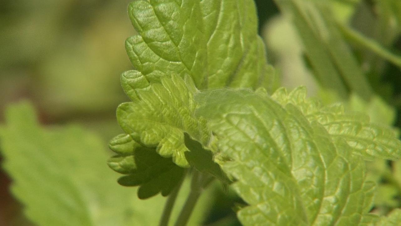 Tulsa Gardener Suggests Using Plants To Combat Mosquitoes