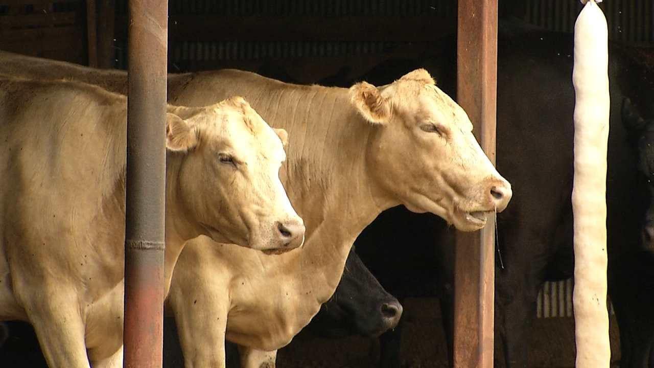 Deadly Bacteria Plaguing Cattle Herds Across Oklahoma