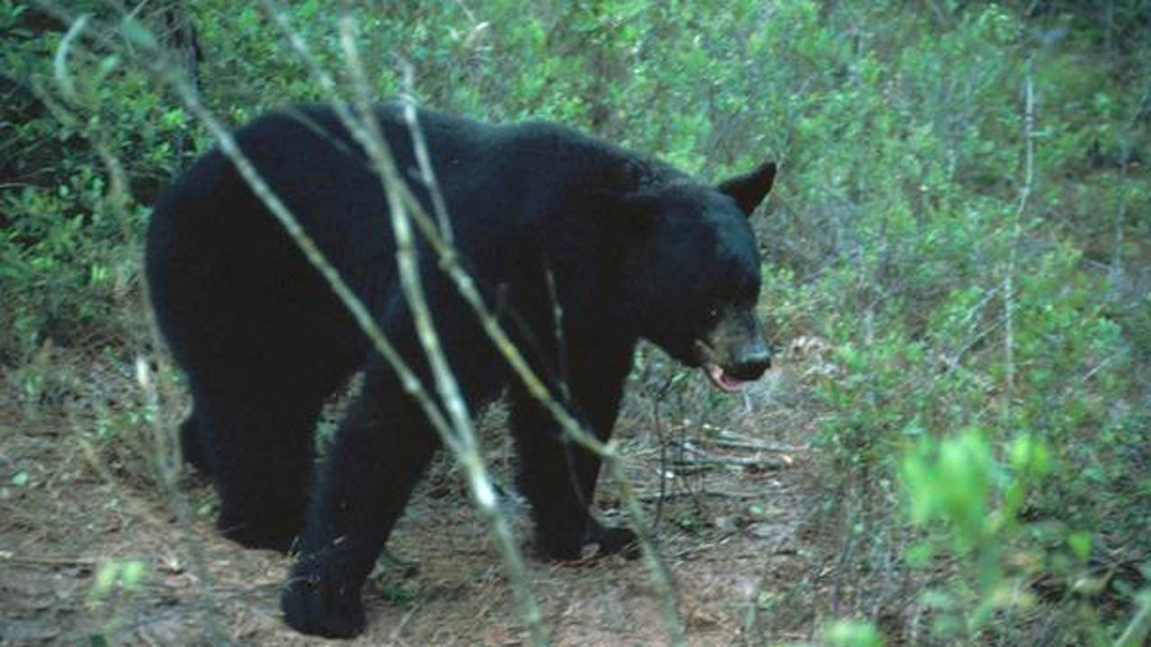 Possible Bear-Human Encounter Near Lake Tenkiller Investigated