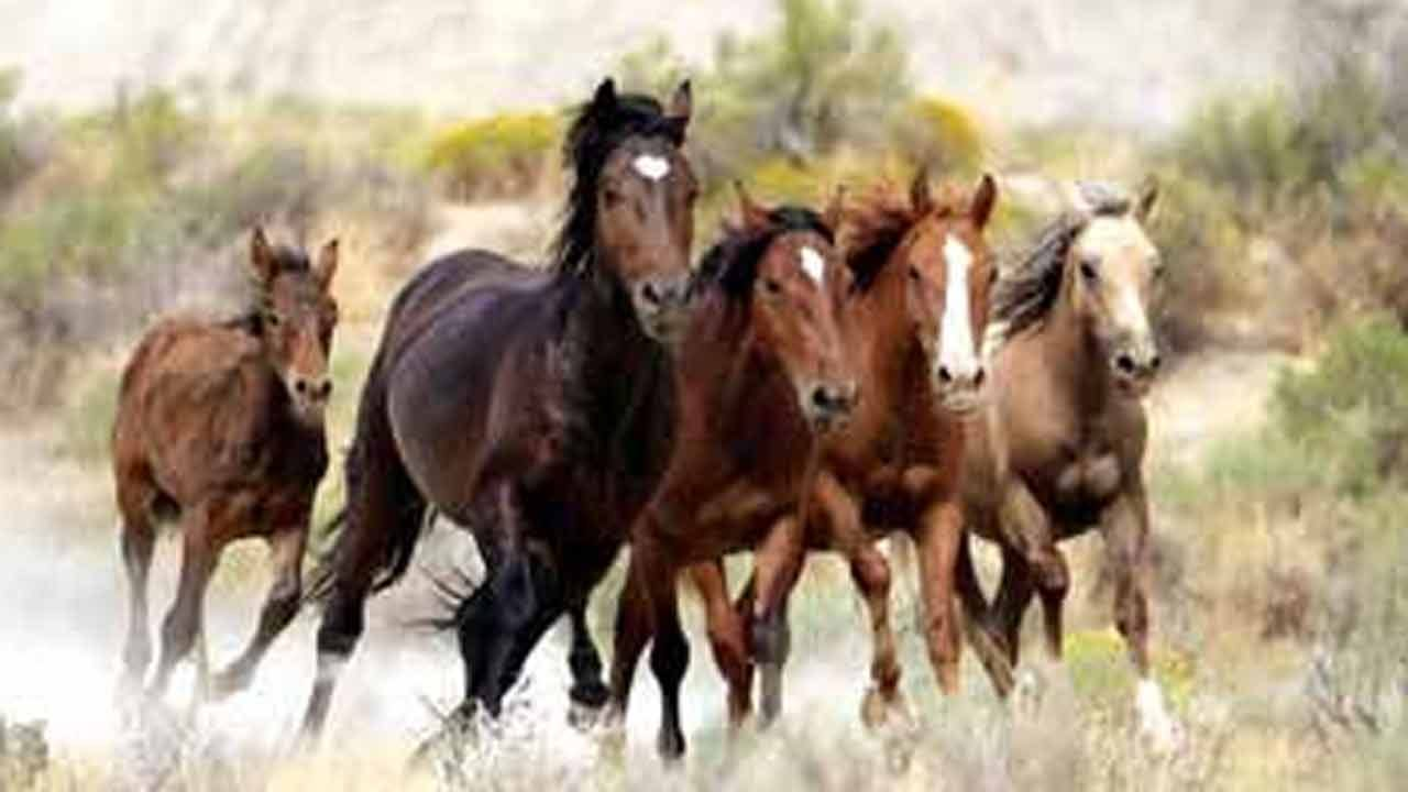 Wild Horse And Burro Auction This Weekend In Vinita