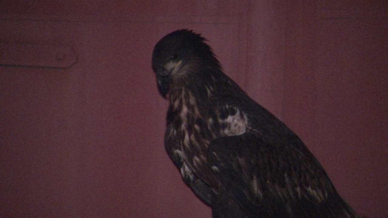 Bald Eagle Found On Downtown Street Taken To Tulsa Zoo