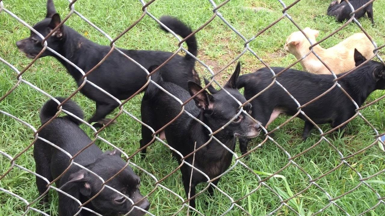 Over 50 Chihuahuas Seized From Tulsa Home