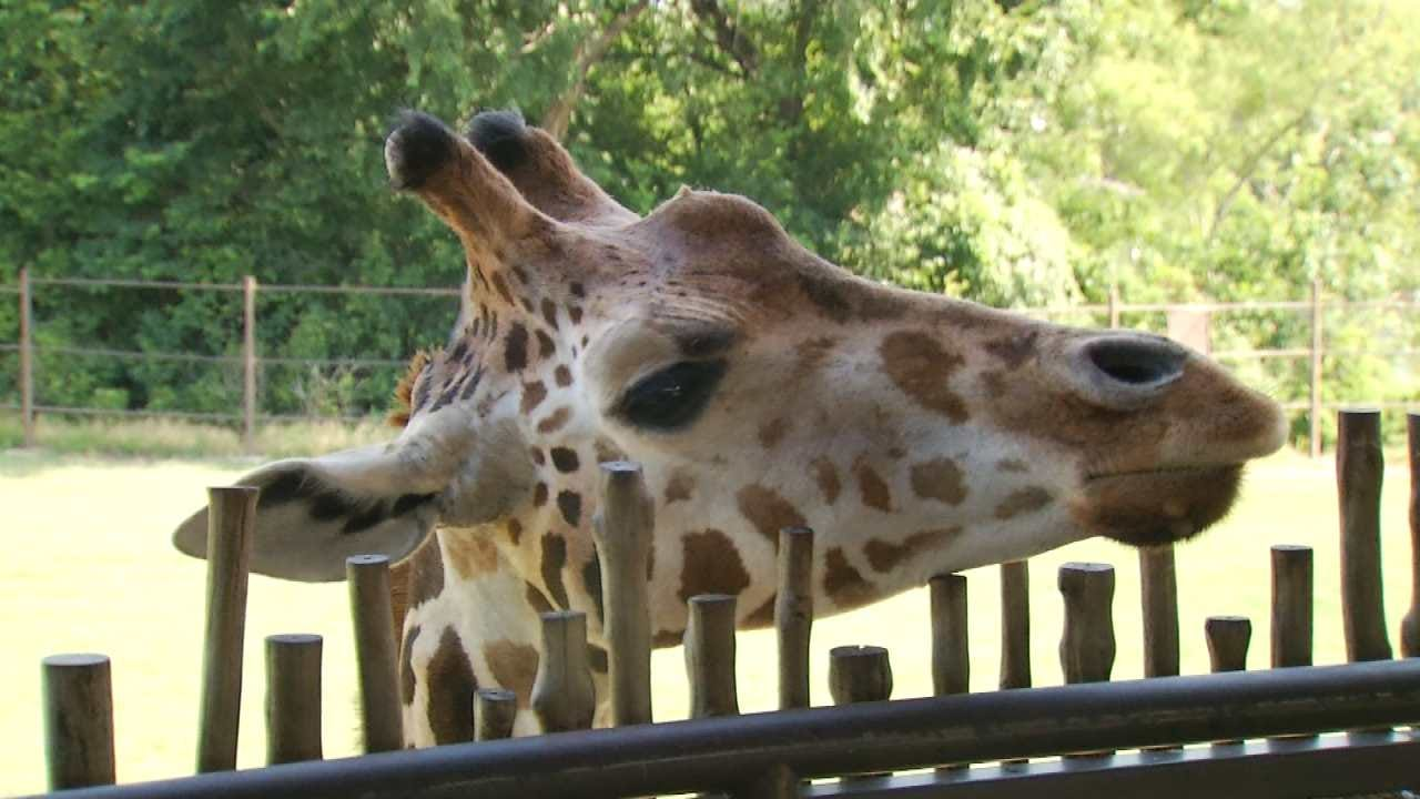 Osage Casino $1M Gift To Fund Tulsa Zoo's Giraffe Exhibit Expansion