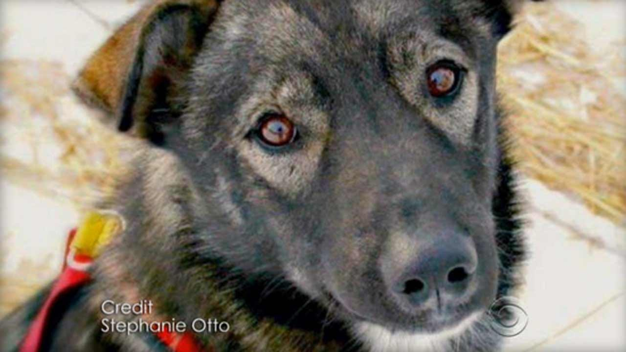 Man Arrested For Driving Snowmobile Into Iditarod Teams, Killing Sled Dog