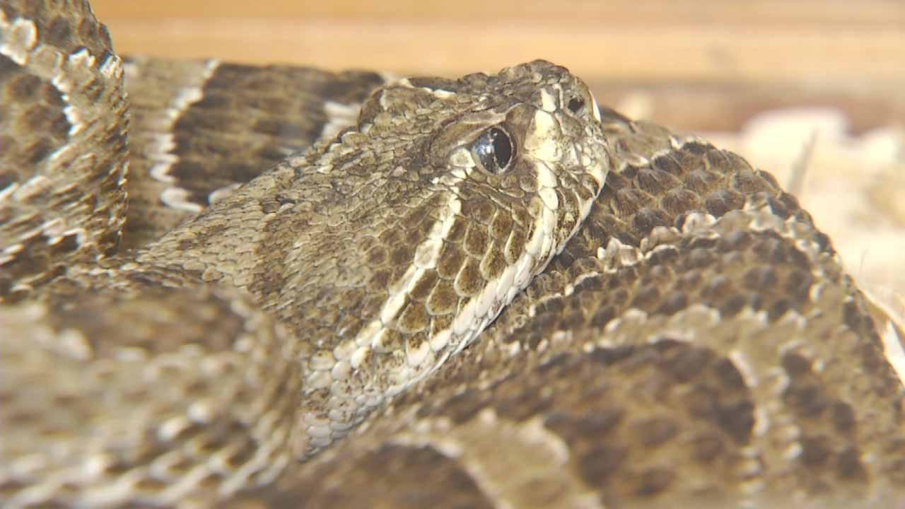 Oklahoma Game Wardens Say Snake Season Is Around The Corner