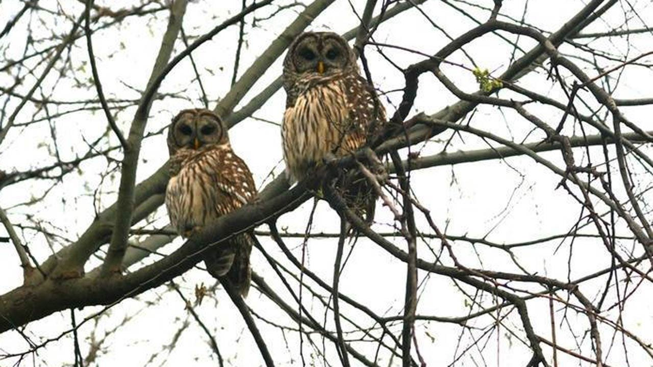 Owls Nest In Midtown Tulsa Again While World Watches