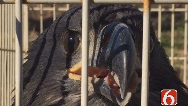 Oklahoma Trooper Rescues Juvenile Bald Eagle
