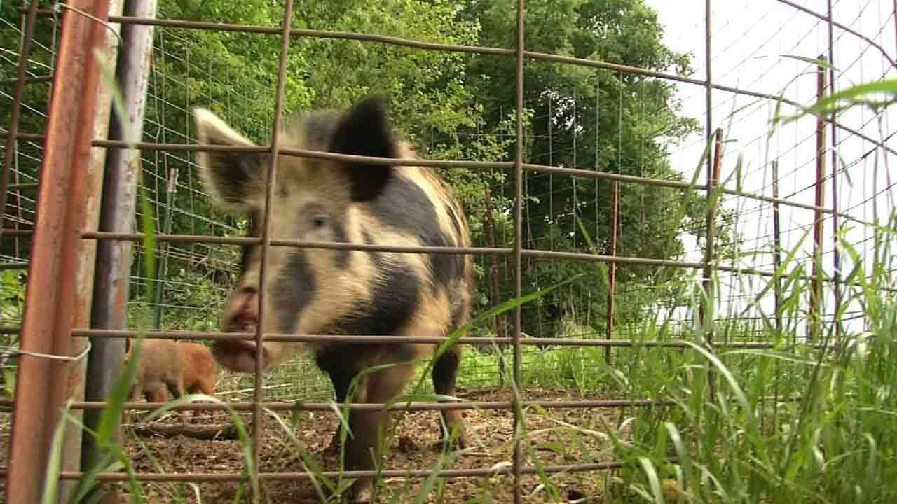 OK Wildlife Commissioner: Feral Hog Bill 'Wildlife Law Enforcement Nightmare'