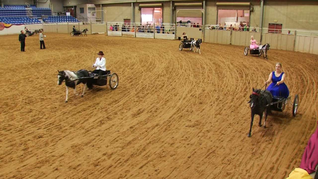 American Miniature Horse Nationals Underway In Tulsa