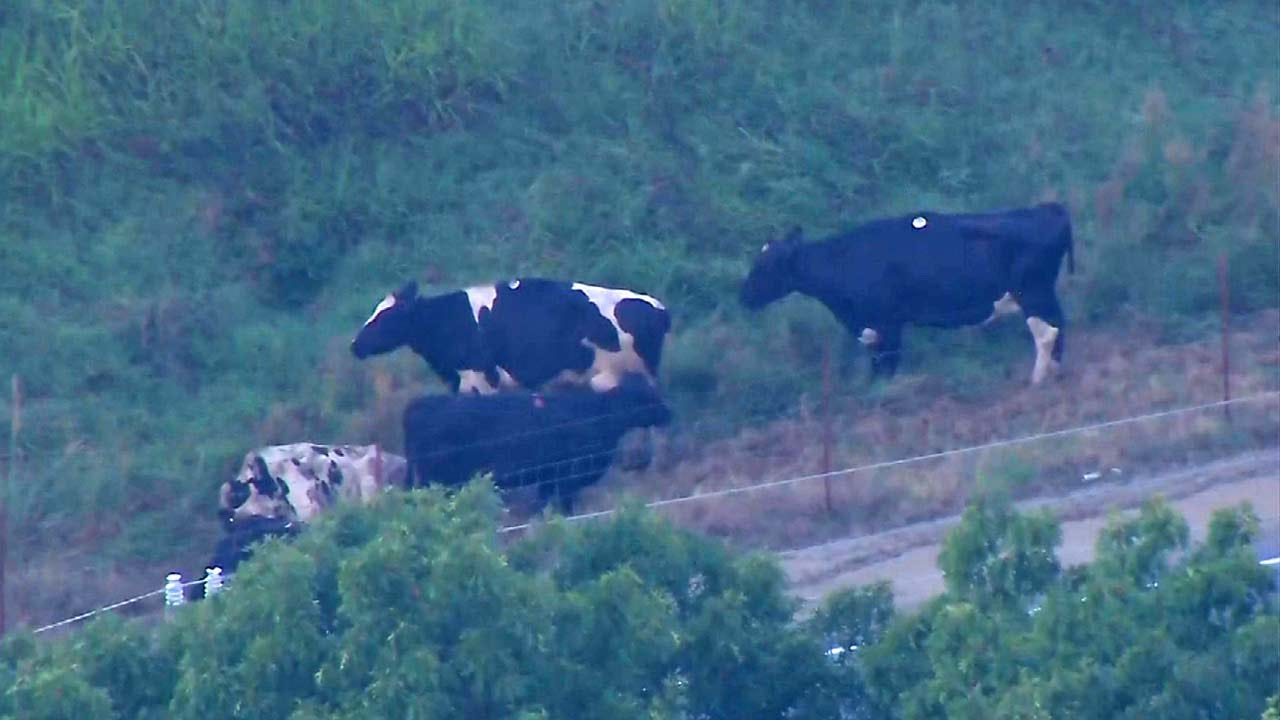 Truck Wreck On Highway 412 Leads To Cattle Roundup