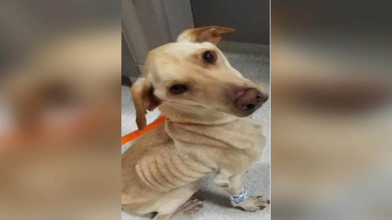 Dog Found Emaciated In Tulsa Dies