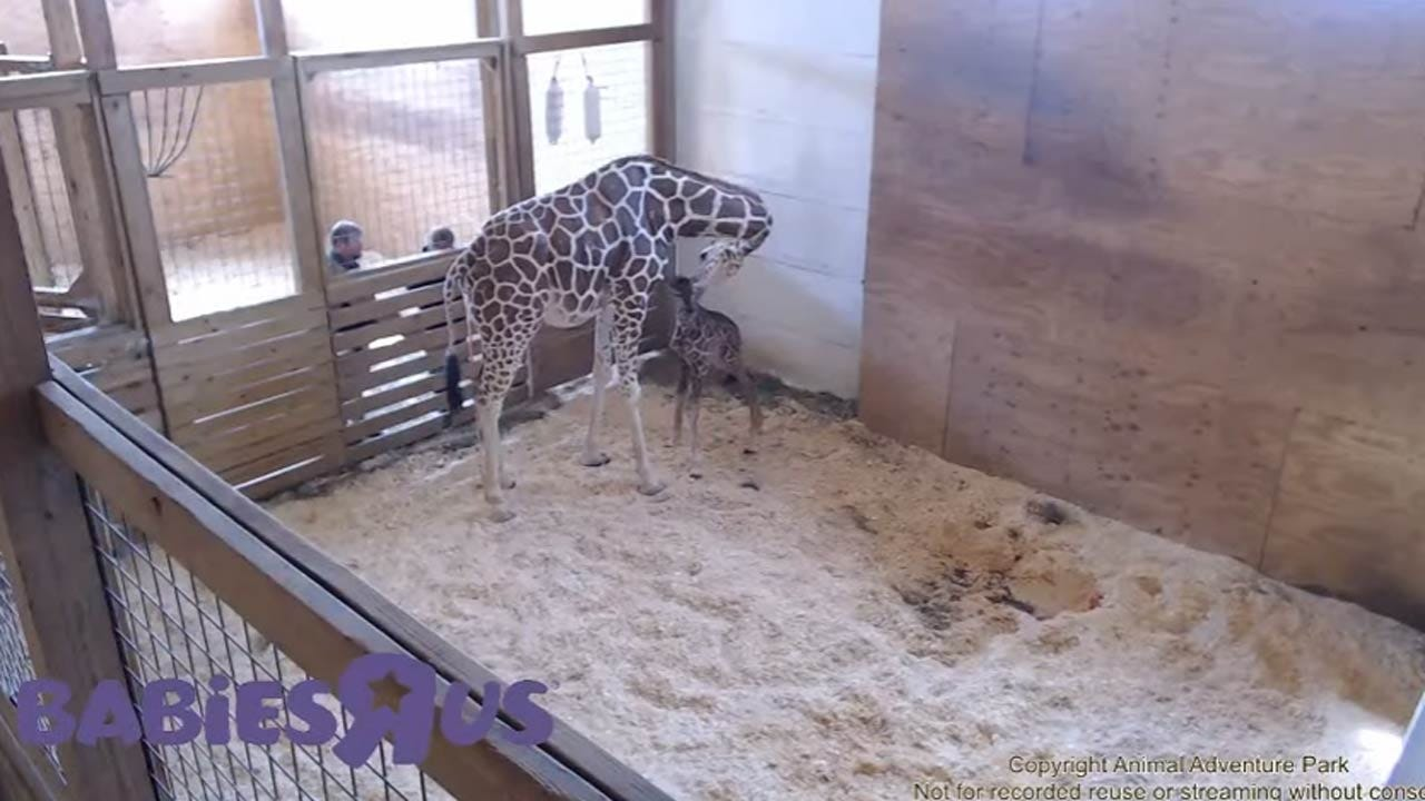April The Giraffe Finally Gives Birth In New York Zoo