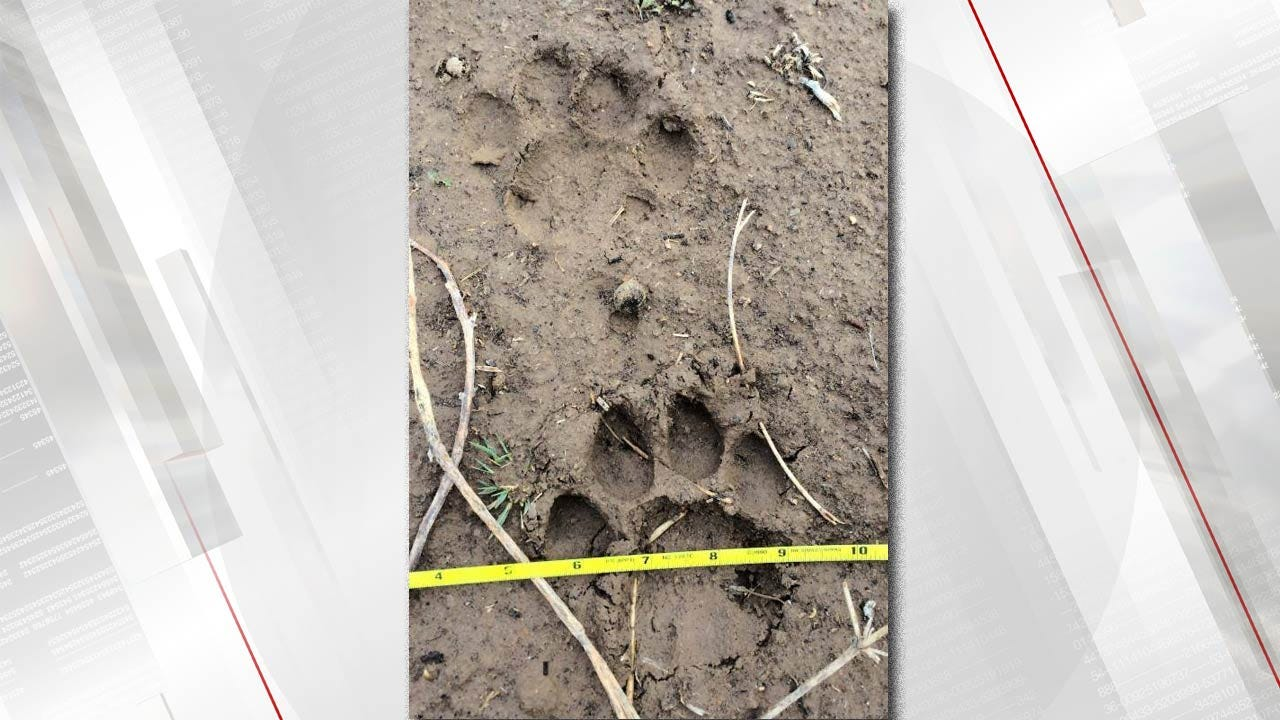 Large Mountain Lion Killed By Oklahoma Wildlife Officer