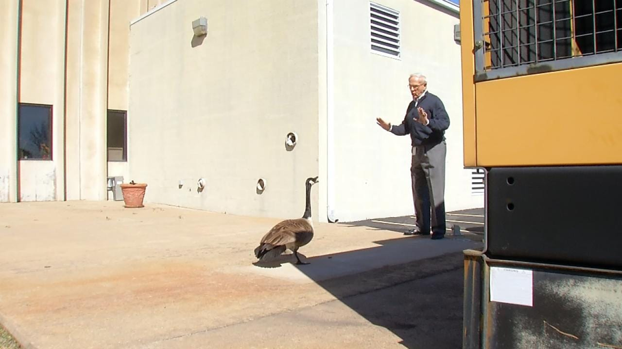 Pair Of Nesting Geese Scaring Some Tulsa Workers