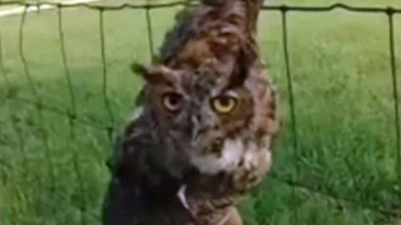 Great Horned Owl Freed From Kellyville Man's Fence