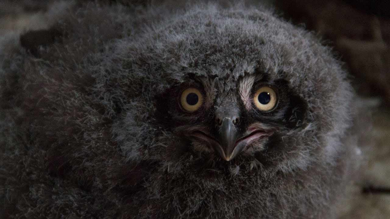 Four Snowy Owl Chicks Hatched At The Tulsa Zoo