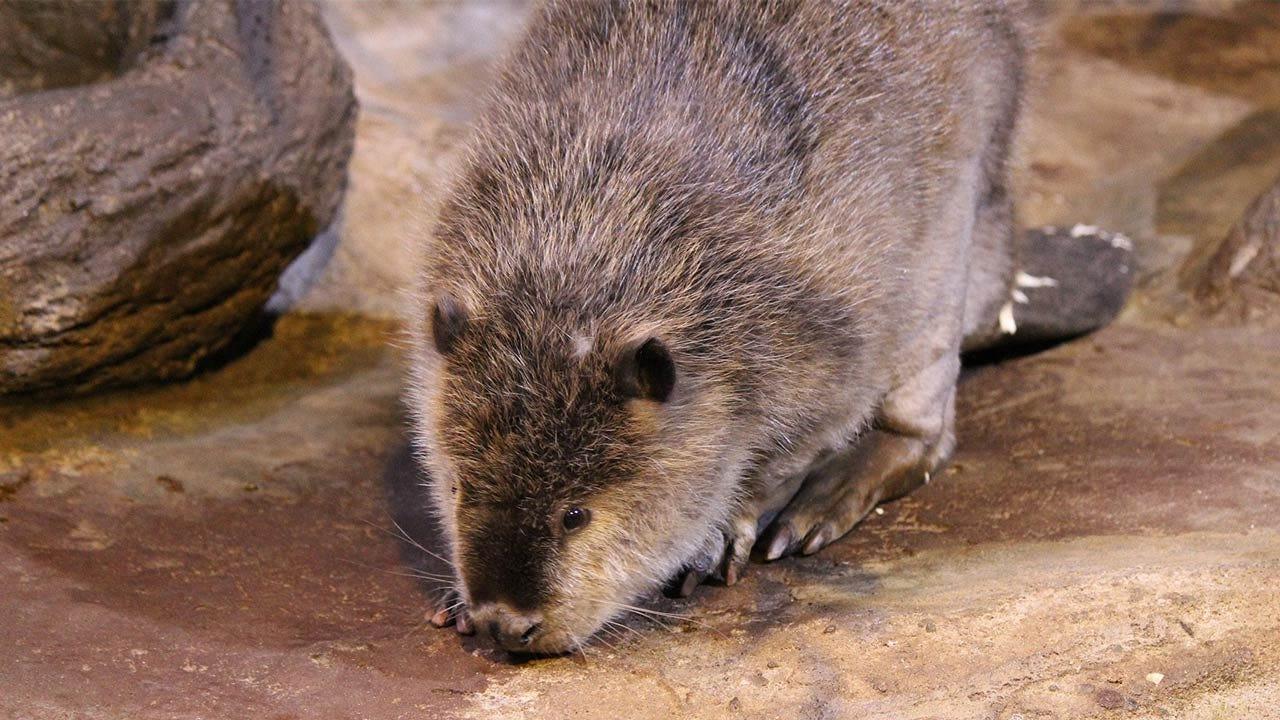 'Rocky' The Beaver Dies At Oklahoma Aquarium In Jenks