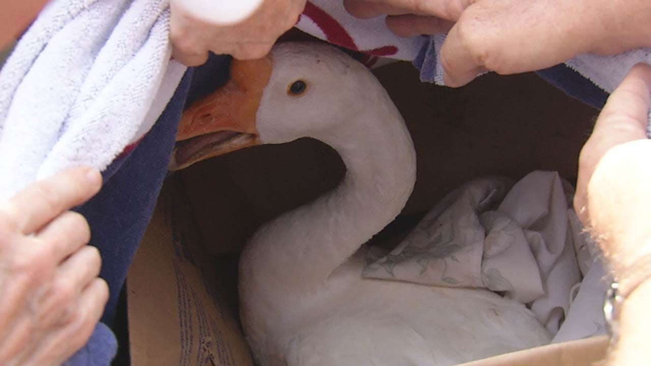 Swan Lake Area Residents Rescue Wounded Goose