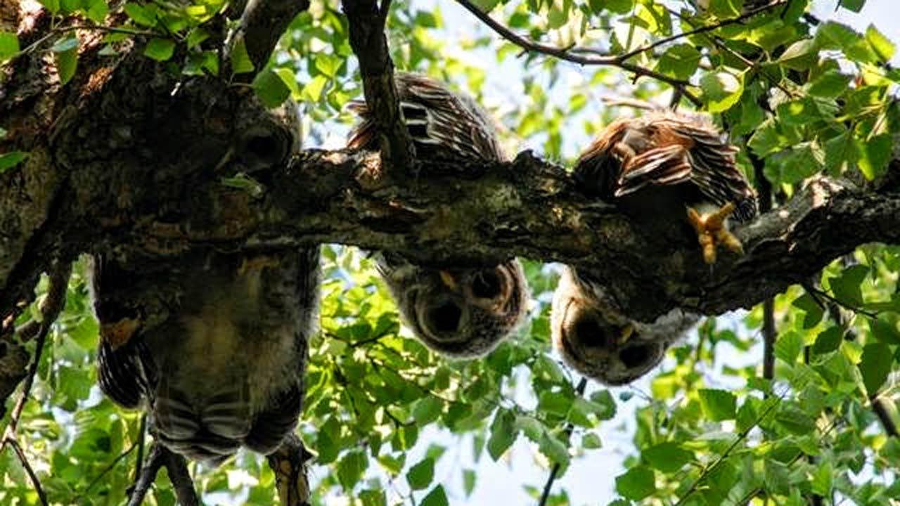 Midtown Tulsa Owls Incubate Eggs On Camera