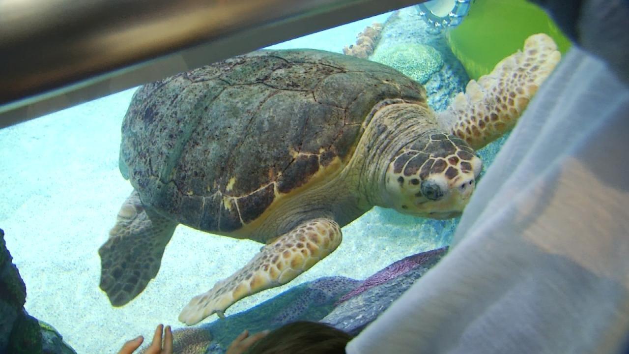 Oklahoma Aquarium Needs Help Naming Sea Turtle for Its Birthday