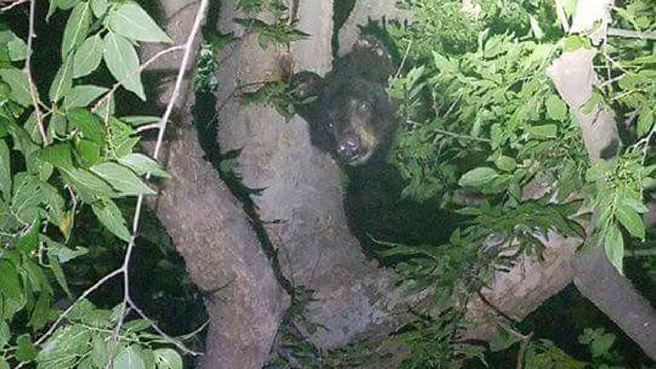 Bear Captured After Climbing Tree In Checotah