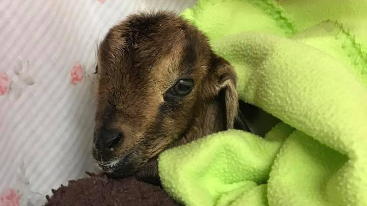Baby Goat Rescued From Grand Lake Is Recovering